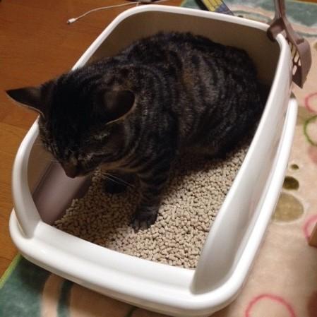 猫がおしっこをしない時の対処法と飼い主に出来る事